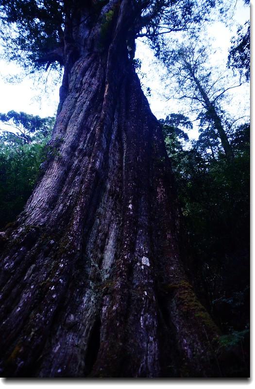 紅檜神木 2