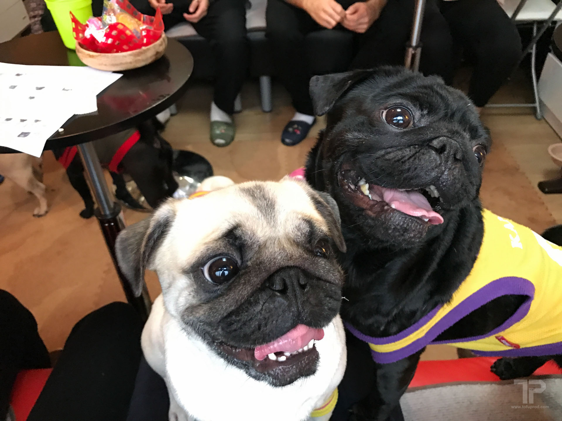 Pug Cafe in Kyoto