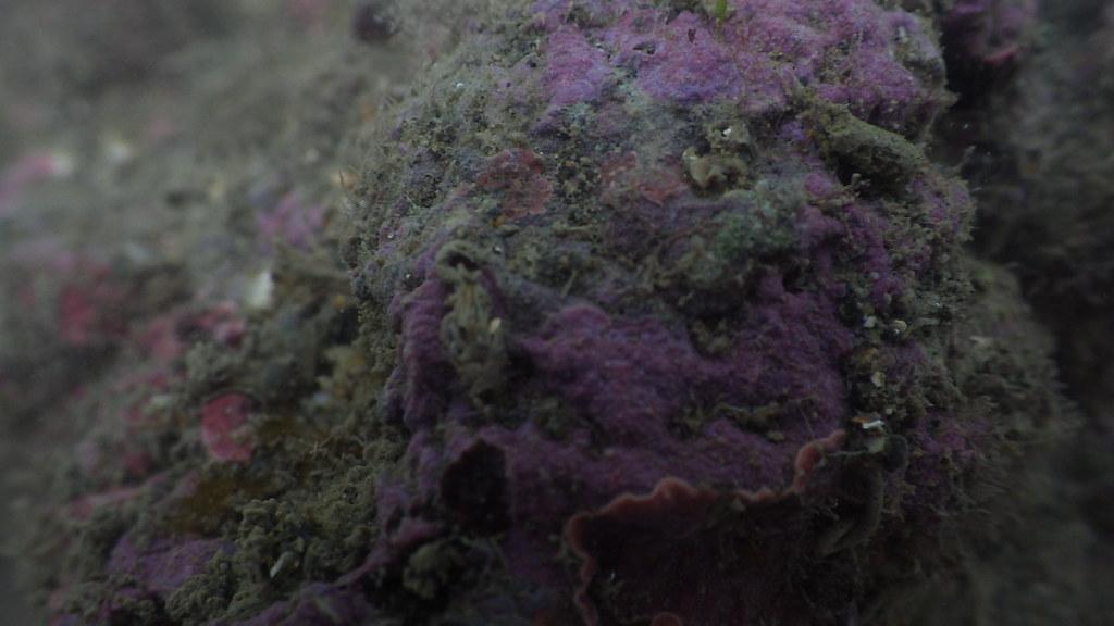 劉靜榆攝G4110位於第3道及第4堤堤之間殼狀珊瑚藻未確定種 Corallinaceae sp.。桃園在地聯盟提供。
