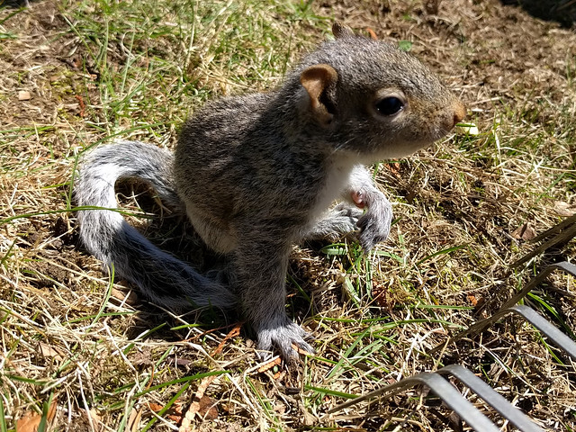 baby_squirrel1