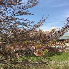 4月16日の桜