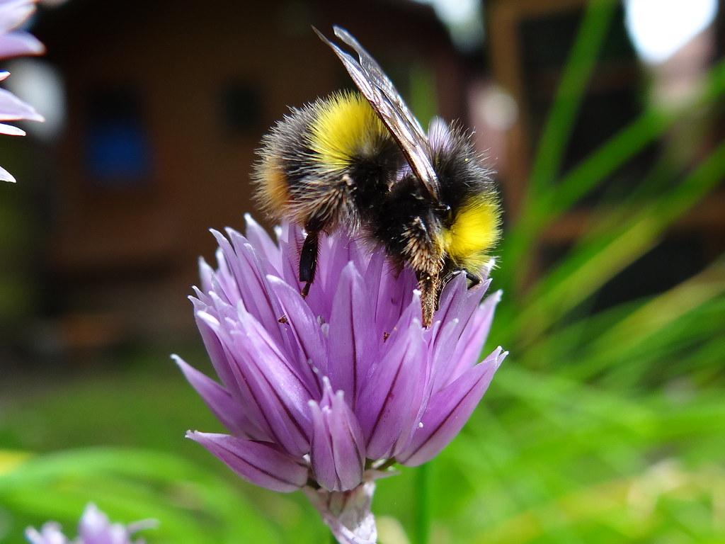 Image Gallery of Honey Bees On Purple Flowers
