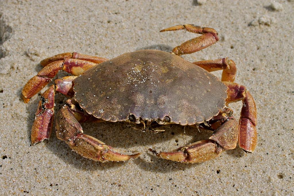 U Have Crabs Jonah crab   Mo...