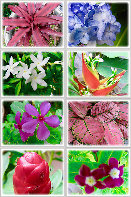 The many colourful plants at our frontyard, 5 Jan 2017