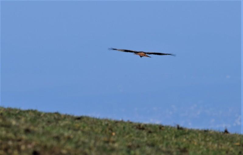 Red Kite 16.03 (3)