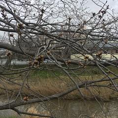 矢那川の桜 2017年3月27日
