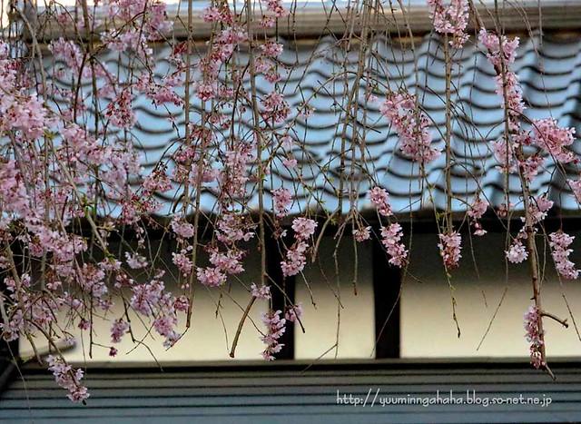 杜の館 枝垂桜