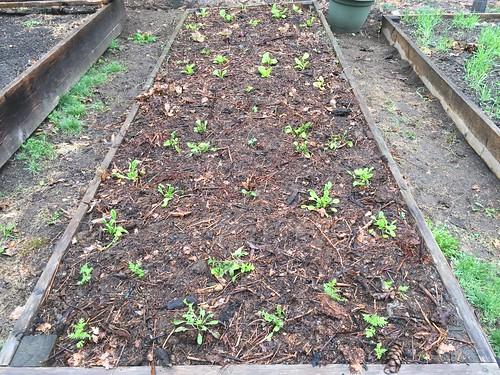 lettuce bed IMG_0939