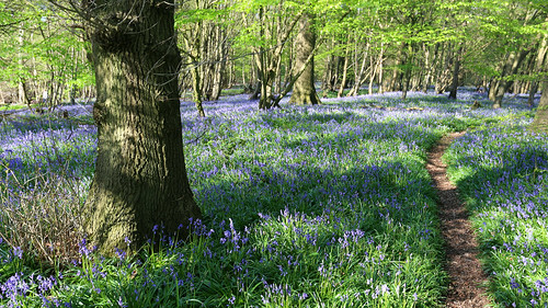 The Kentish Bluebell Wood