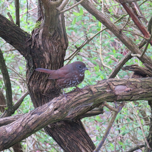Fox Sparrow - Stanley Park - Vancouver - April 13, 2017