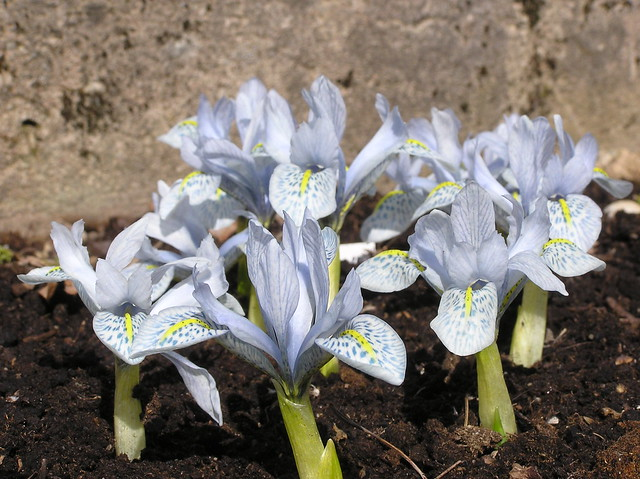 Iris histrioides 'Sheila Ann Germaney'