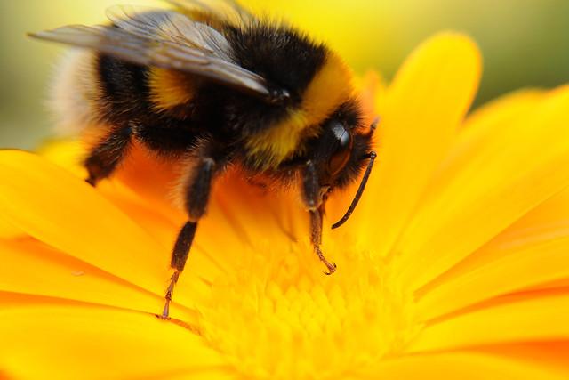 Bumble bee on calendula yellow flower close up feeding on ...