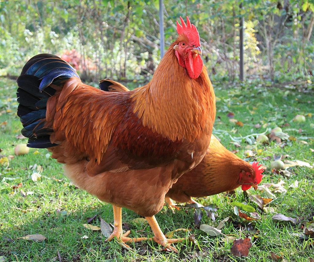 New Hampshire >> New Hampshire Hahn | ...flatterte am 12.5.14 in den Hühnerhi… | Flickr