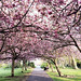 The Best Places to See the Cherry Blossoms in Dublin