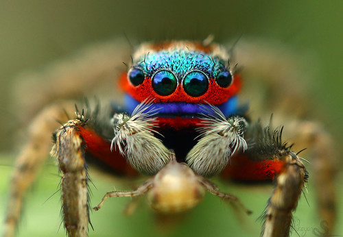 Colorful jumping spider - photo#39