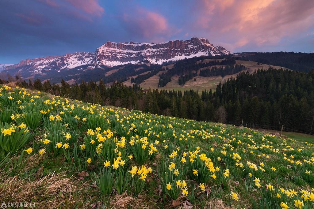 Daffodil - Schangnau