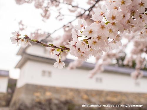 Cherry blossoms #03