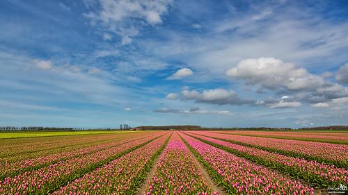 The tulip season has begun
