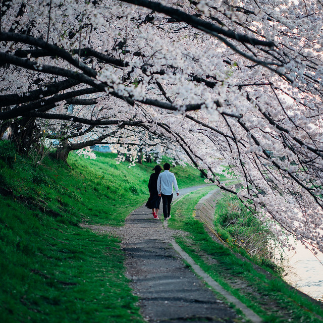 CherryBlossoms_28