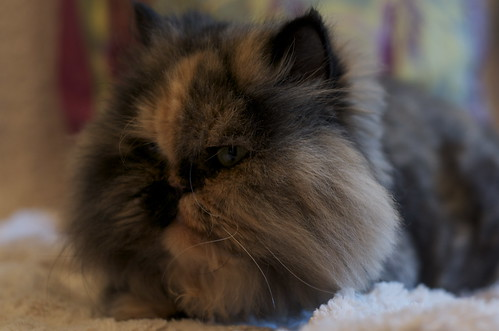 Persian Cat Side View Flickr Photo Sharing
