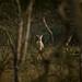 Eland in the bush