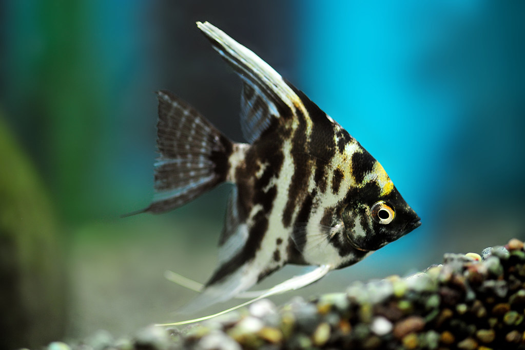 Marble Angelfish | JΛmㅌsDㅇ | Flickr