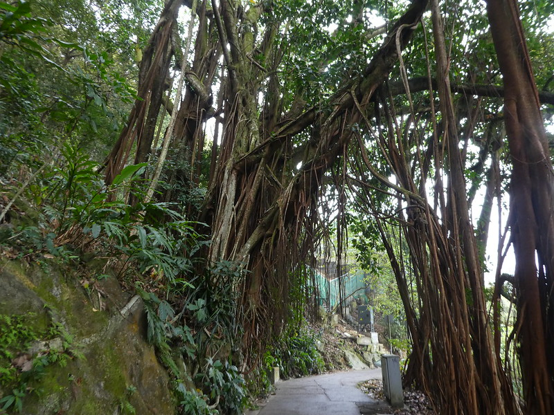 Indian rubber trees along the Peak Trail, Hong Kong
