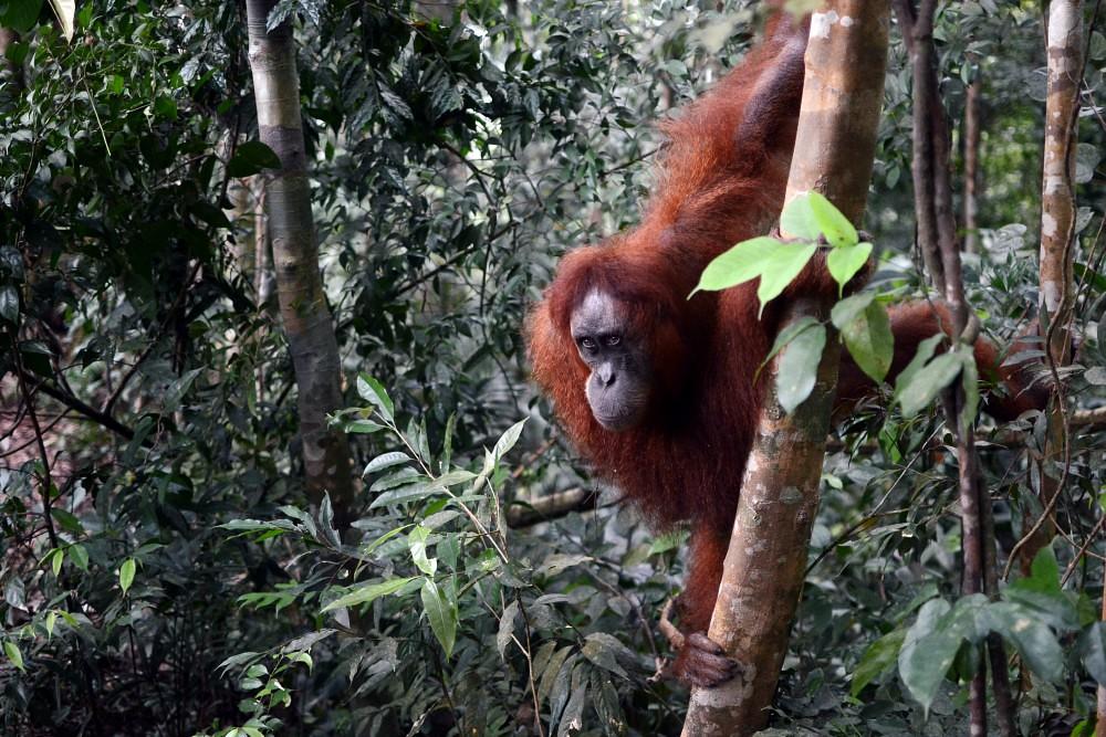 Sumatranoranki
