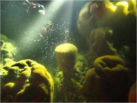 東沙島北岸產卵的角星珊瑚