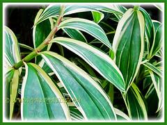 Fabulous variegated leaves of Costus speciosus 'Variegatus' (Variegated Crepe Ginger, Variegated Spiral Ginger/Flag), 9 Nov 2011