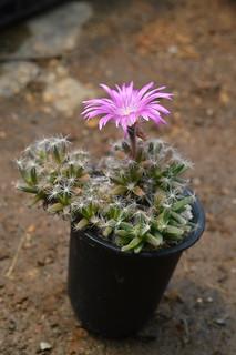 DSC_5591 Trichodiadema densum トリコディアデマ 紫晃星