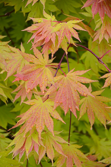 Japanese Maple Tree Leaves Flickr Photo Sharing