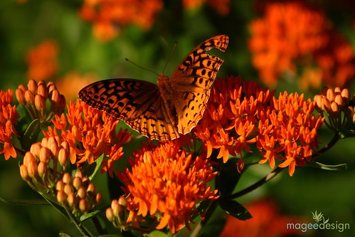 Great Spangled Fritillary (Speyeria cybele) on Butterfly Weed (Asclepias tuberosa) | by John Magee