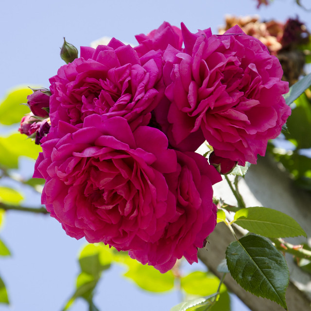Роза сорта Лагуна, фото фотография цветы