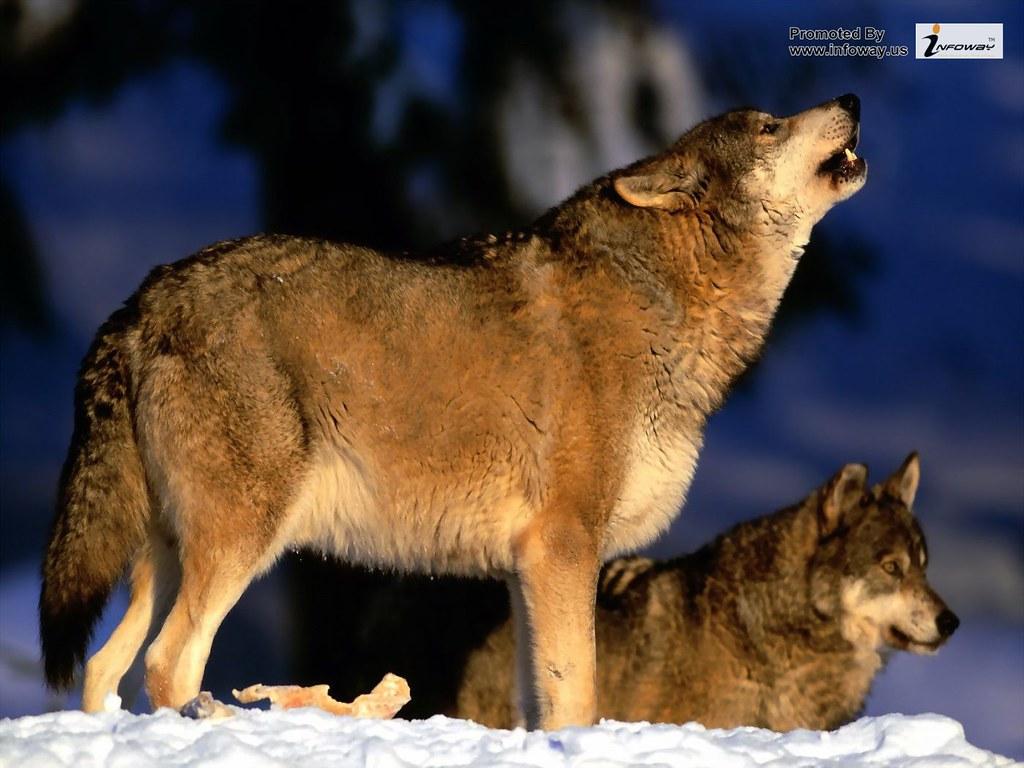 Beautiful Wolfs Wallpapers Hd Wolf Wallpaper Beautiful Wol Flickr