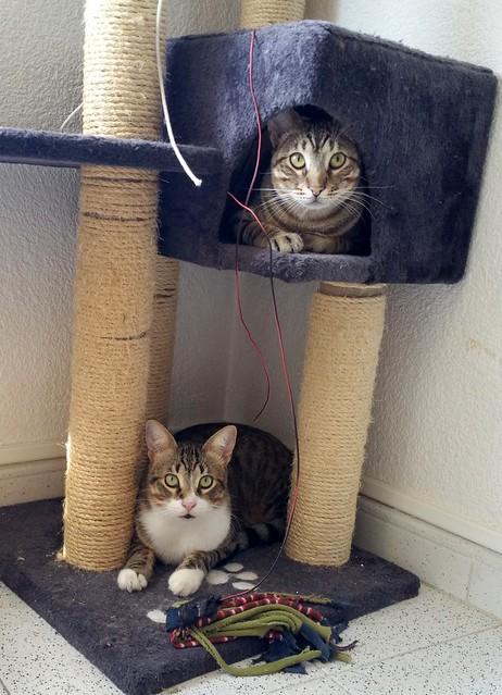 Cotton y Cobby, gatos pardo y blanquipardo inseparables, nacidos en Febrero´15, necesitan adopción Conjunta. Valencia. 32949577872_1e19119618_z