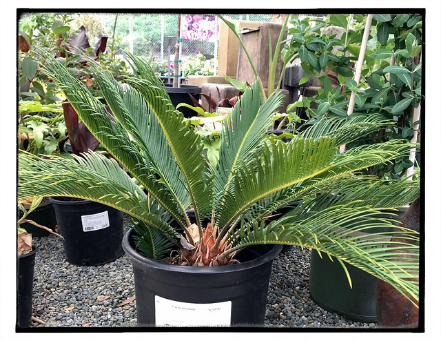 Sago, Cycas revoluta, costs $60 here. $15 at IKEA.