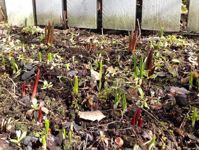 Puutarhaseuranta tulppaanit nousevat. Valokuvaaja: Markus Kauppinen