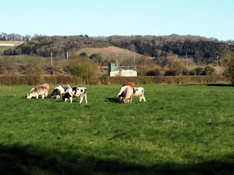 goring-pangbourne englanti lehmät