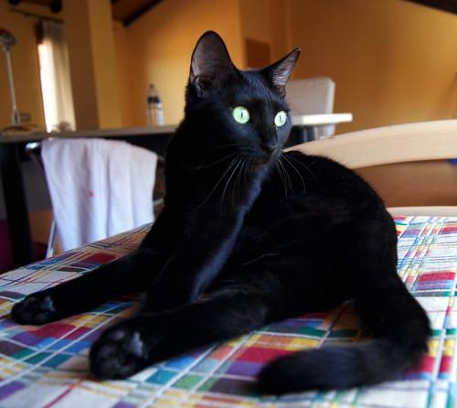 Morgana, gatita negra monísima, juguetona y tímida esterilizada, nacida en Julio´16, en adopción. Valencia. ADOPTADA. 34058733316_3f1440611e