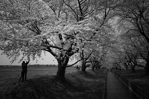 桜の花、舞い上がる道を 2017 2