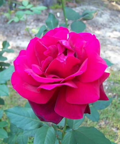 Mister Lincoln Hybrid Tea Rose From My Garden Flowers