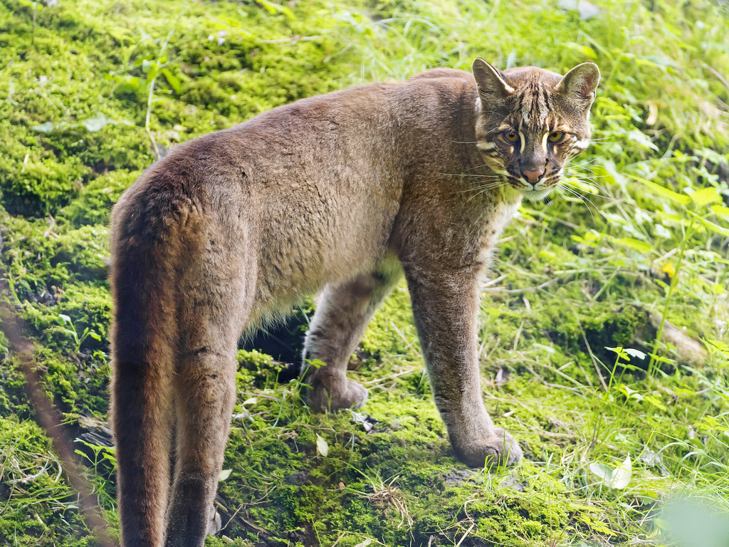 Asian golden cat II | Second picture of this feline. Sadly ...