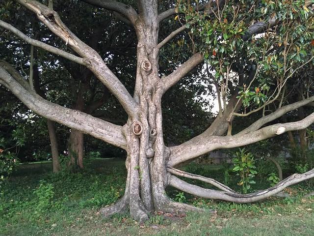 Kang Tree