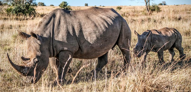 photo of rhinos in South Africa
