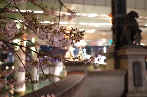 Nihonbashi bridge sakura night viewing 01
