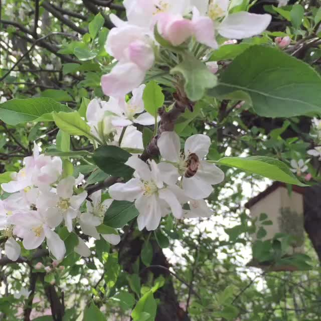 apple blossom video