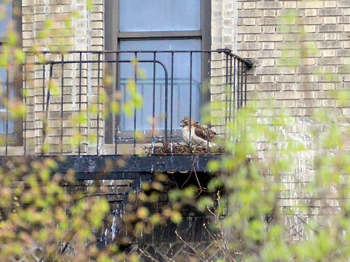 JHW Hawk Nest - 2433