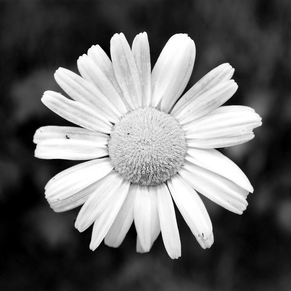 Black and white daisy | stinkyoffice | Flickr