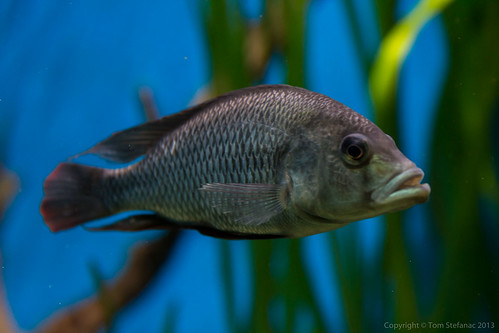 Lake Malawi cichlids | by Vaughan Weather